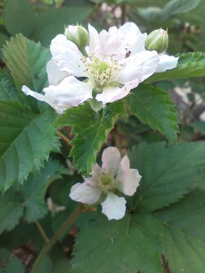Blackberry Plant Gardening Growth White Flower Green Leaves White Flower On Green Background Beauty In Nature Blackberry Blackberry Blossoms Blackberry Flowers Garden Spring Springtime White Blossoms White Flower White Flowers