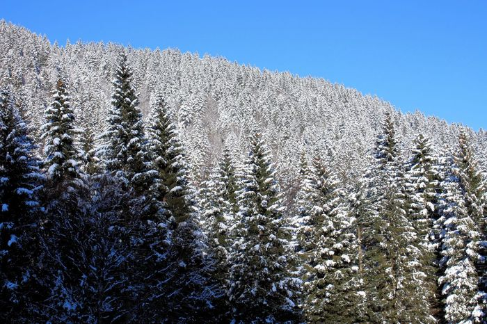 sunlit spruce forest , Soriška Slovenia Beauty In Nature Blue Clear Sky Cold Temperature Day Forest Freshness Growth Light And Shadow Low Angle View Nature No People Outdoors Sky Spruse Tranquility Tree
