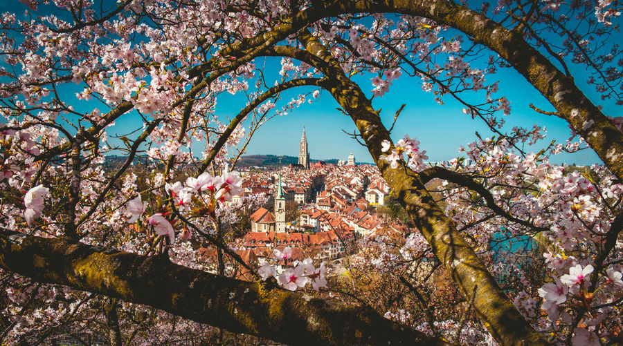 Cherry blossom tree and buildings against sky