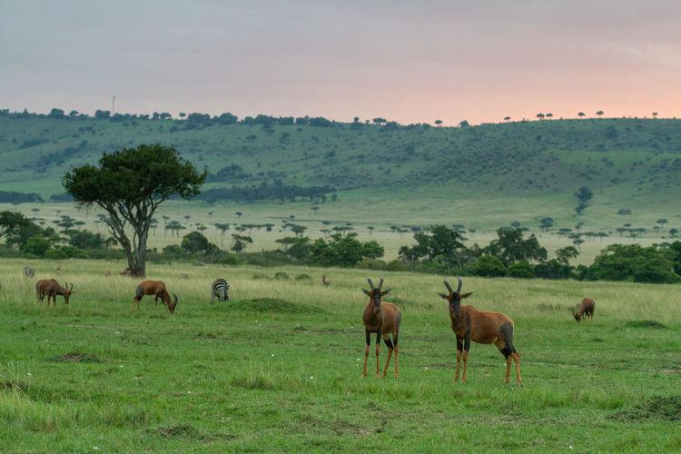 Herd of topi antelope grazing in a field in the masai mara in kenya.
