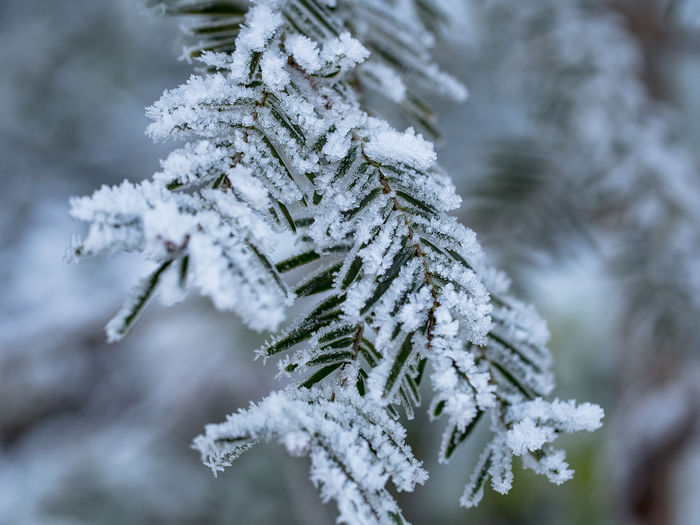 frozen branch Frost Snow Wood - Material Tree Part Of Tree Winter Mood Cold Temperature Frozen Close-up Beauty In Nature Nature Plant No People Branch Day Ice Fir Tree White Color Coniferous Tree Pine Tree Focus On Foreground Outdoors Needle - Plant Part EyeEm Nature Lover