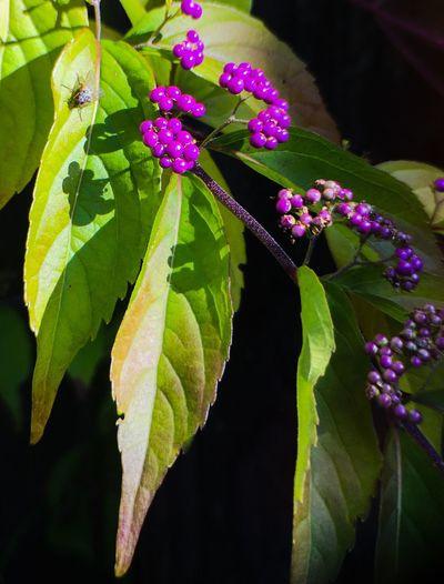 Leaf Purple
