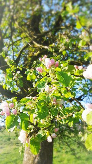 Apple Tree Landscape