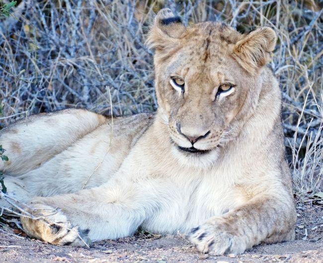 Portrait of lion sitting