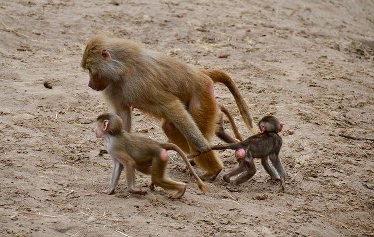 Beekse Bergen Primate Mammal Animal Wildlife Group Of Animals Animals In The Wild Young Animal Vertebrate Animal Family Nature