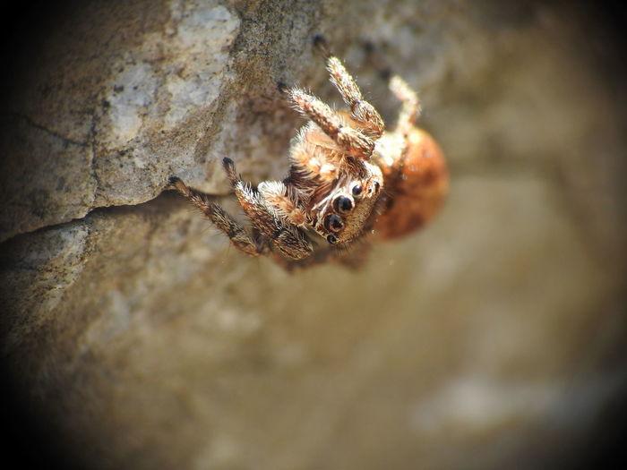 Jumping Spider EyeEm Nature Lover EyeEmNewHere Macro Beauty Macro Photography Nature Spider Arachnid Arachnophobia Jumping Spider Macro Macro Nature Macro_collection