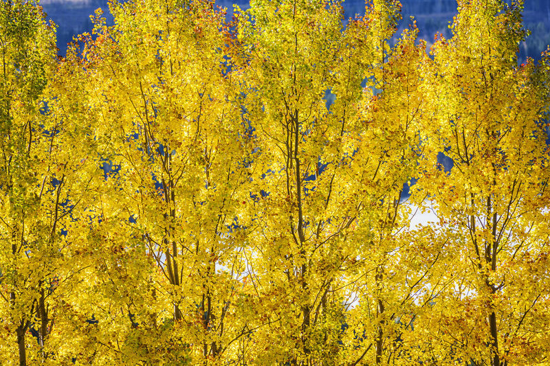 Full frame shot of yellow autumn tree