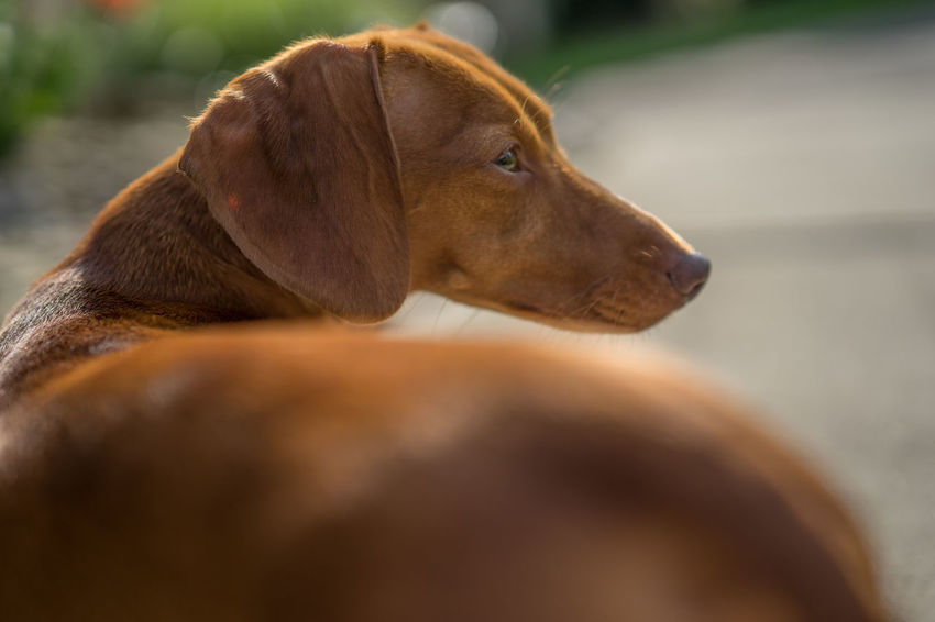 Animal Animal Themes Dachshund Dog Mammal Pet Dog  Red Smooth Weeniedog Wienerdog