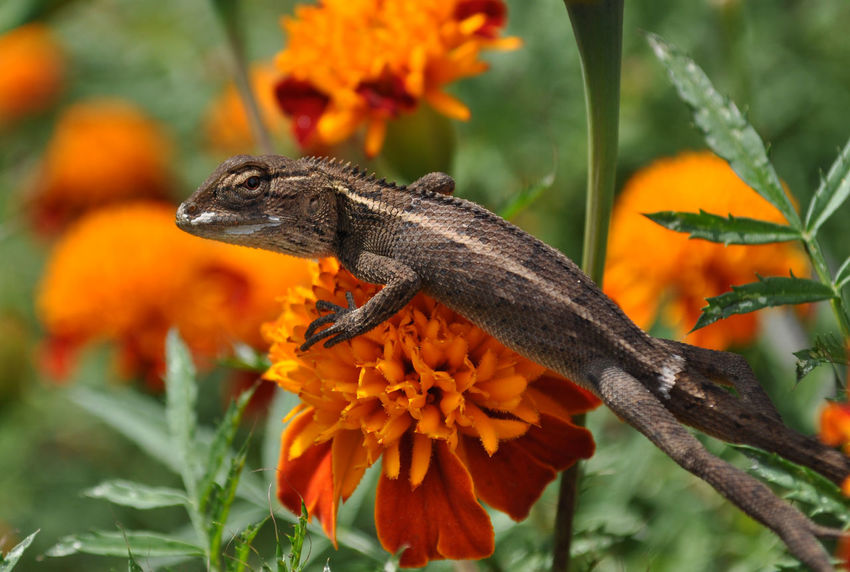 Camaleon Animal Themes Animal Wildlife Animals In The Wild Beauty In Nature Calendula Chameleon Close-up Flower Kameleon La Mirada Marigolds Meh Meh! Mini Camaleon Mini Chameleon Mini Kameleon Nature No People One Animal Orange Color Reptile That Look