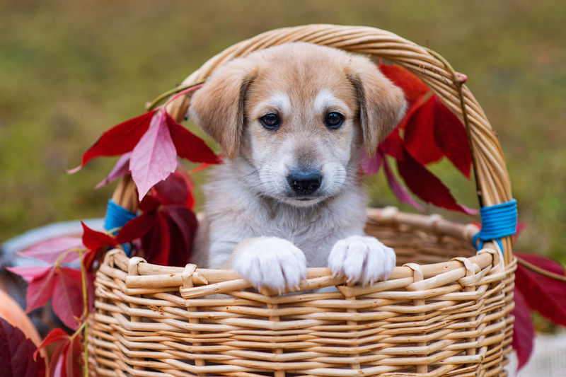 Portrait of a dog in basket.  cute brown puppy with sad eyes