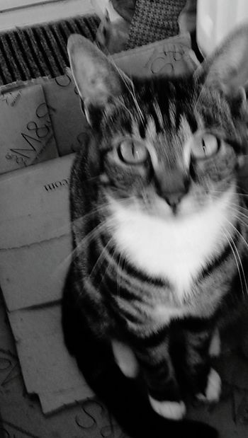 Pet Photography  Cat Geoff Home Sweet Home Devon Black And White Geoff wonders where his mouse went.