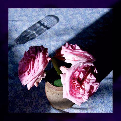 Rose d'Ėthiopie. Roses Rose♥ Flowers Light And Shadow Shadows EyeEm Best Shots EyeEmbestshots Light Light In The Darkness