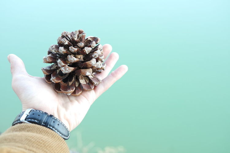 Cropped Image Of Man Hand Holding Pine Cone Against Sky