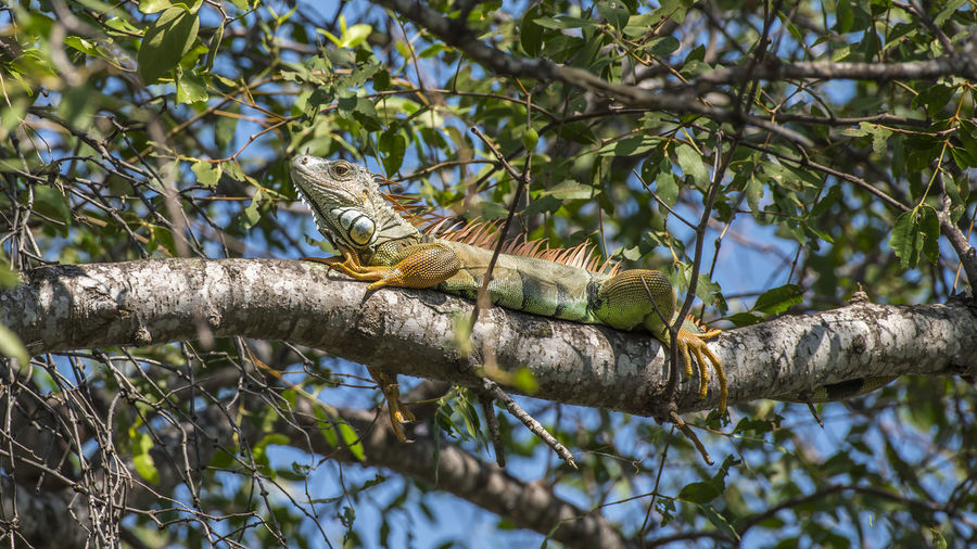 Animal Themes Animal Wildlife Animals In The Wild Bird Branch Day Full Length Iguana Lizard Low Angle View Nature No People One Animal Outdoors Perching Reptile Tree