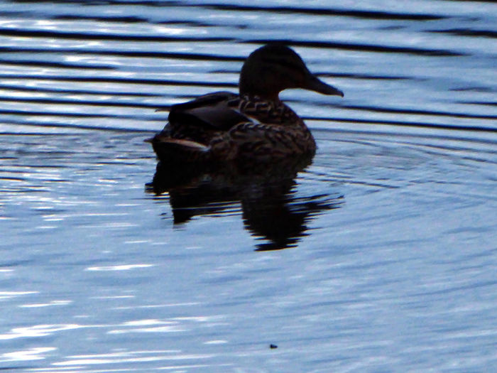 Simple Beauty Animals In The Wild Swimming Evening Light Reflection Ducks ❤ Tranquil Scene Tranquility Waterreflections  Beauty In Nature Celebrate The Little Things For My Friends 😍😘🎁 Enjoying The View Eye4photography  Life Is Motion Zoom ♡ Animal Themes Silhouette
