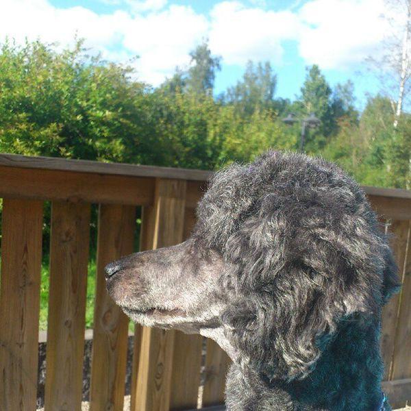 Siri Dog Pudel