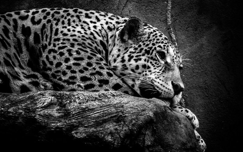 Animals Selvagem OnçaPintada Floresta Pretoebranco Nature Natureza Photography One Animal Animal Themes Spotted Leopard Animals In The Wild No People Close-up Mammal Indoors  Day Nature