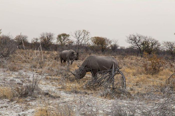 Rhinoceros in Etosha.. Namibia Animals In The Wild Animal Wildlife Nature Travel Photography Globetrotter Viaggiare Travel Destinations Waphaphotographer Wanderlust Eyemphotography EyeEmNewHere Phototraveller Canon 6D Lonelyplanet Livefortravel Photograph Namibia Etosha National Park Rinhoceros Wildlife
