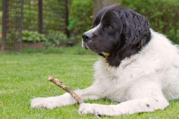Portrait of a landseer dog lying in a garden, holding a branch and looking away
