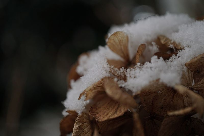 Hydrangea Winter Cold Temperature White Color Nature Snow Close-up Frozen Flower Fragility No People