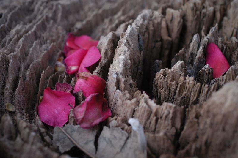 深く刻まれた年月に紅が彩りを添える。 Nature Close-up Beauty In Nature Flower Fragility 年輪 Growth Rings Petal 山茶花