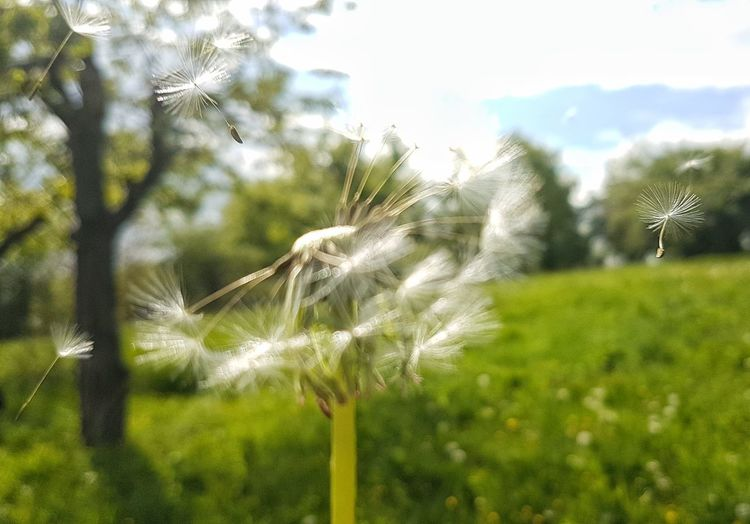 Flying dandelion Spraying Flower Irrigation Equipment Agriculture Field Close-up Sky Plant Green Color Grass Dandelion Seed Wildflower Dandelion Agricultural Field Seed Softness Single Flower Stem