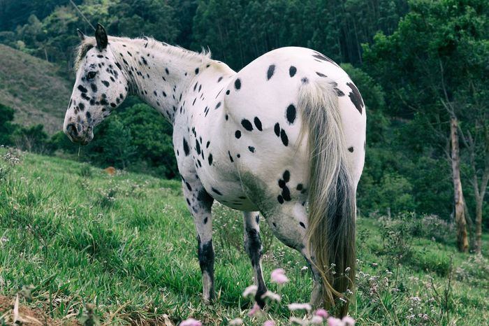 Spotted horse on a field Brazil Dalmatian Horse Farm Farm Life Farmland Field Rural Santos Dumont Animal Animal Themes Animal Wildlife Domestic Domestic Animals Field Grass Herbivorous Land Landscape Nature Outdoors Pets Rare Beauty Rural Scene Spotted Spotted Horse