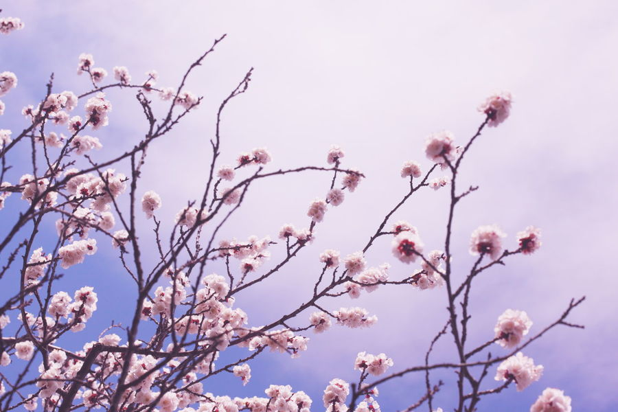Apricot Beauty In Nature Blooming Blossom Blossoms  Botany Branch Clear Sky Flower Fresh Freshness Fruit Tree Growth In Bloom Pastel Petal Pink Pink Color Season  Spring Springtime Tree Twig