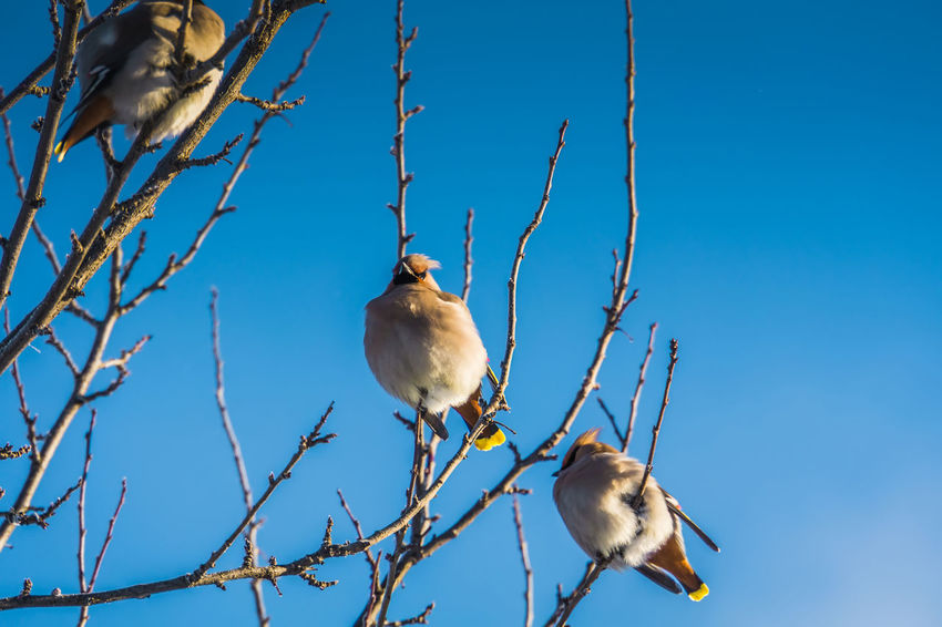 Wintertime Animal Animal Themes Animal Wildlife Animals In The Wild Bare Tree Bird Blue Branch Day Low Angle View Nature No People One Animal Outdoors Perching Plant Sky Tree Vertebrate Waxwing Waxwings