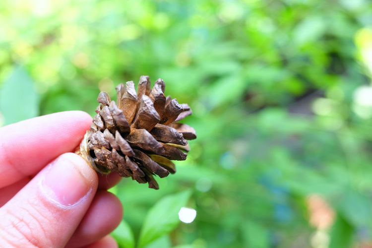 Cropped hand holding pine cone against plants