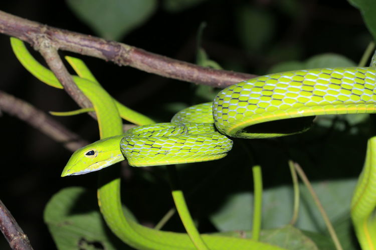 Green snake6 Leaf Green Color Green Snake Green Snake Tree Dark Night Leaf Branch Insect Closing Close-up Green Color