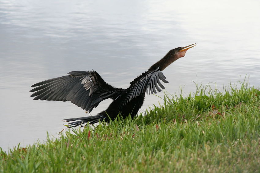 Anhinga Animal Themes Beauty In Nature Bird Bird Photography Birds Of EyeEm  Birdwatching Black Bird Darter Grass Lake Snakebird Wings Solivita Welcome To Black