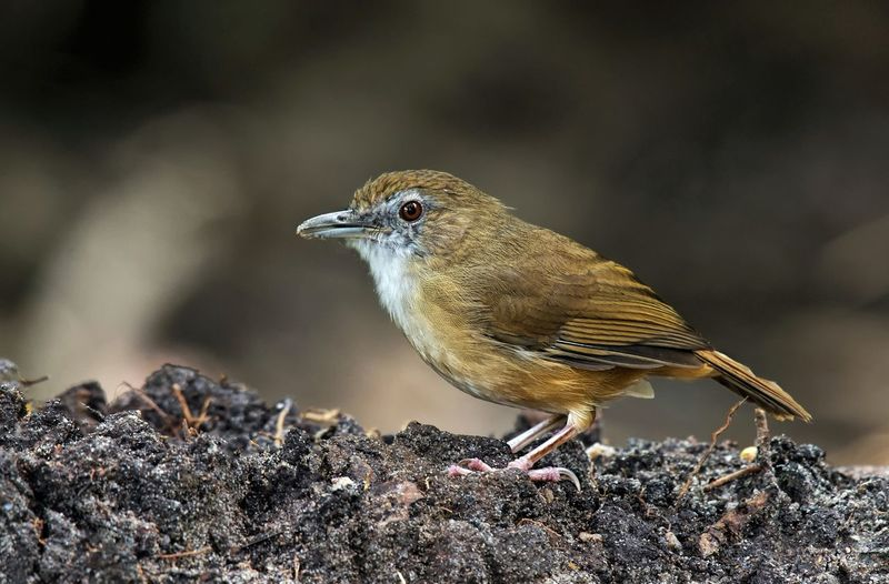 Abbott's Babbler (Malacocincla abbotti) or |Rimba Riang. Nature Habitat in Forests, forest edge, wooded areas Abbott's Babbler (Malacocincla Abbotti) Animal Themes Animal Wildlife Animals In The Wild Bird Close-up Nature No People One Animal Outdoors Perching Rimba Riang