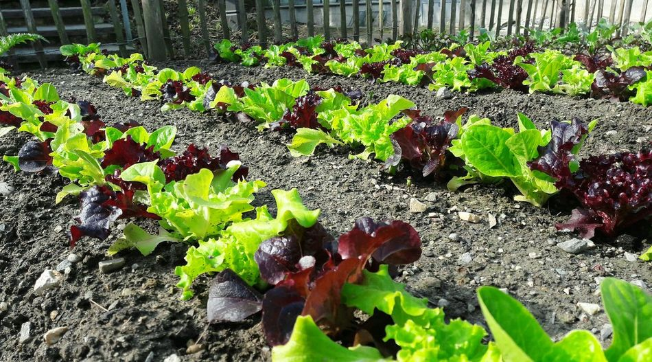Urban Gardening Garden Love Food Springtime Self Sufficiency Vegetable Garden Freshness Gardening Leaf Vegetable Healthy Eating Leaf Salad Soil Close-up Day Outdoors No People Spring Garden Photography Growth Plant Nature