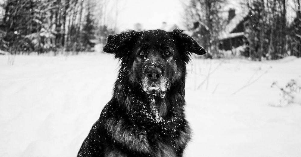 Shiva German Shepherd Germanshepherd Shilohshepherd Shiloh Shepherd Leonberger Bernersennen Dog Winter Snow Sweden Outside March Blackandwhite Bestfriend Things I Like