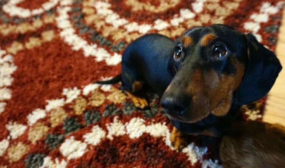Domestic Animals Animal Themes Close-up Pets Textile Mammal Black Color One Animal Dog Portrait Indoors  Dachshund No People Day Daushund  Doxie Weiner-Dog