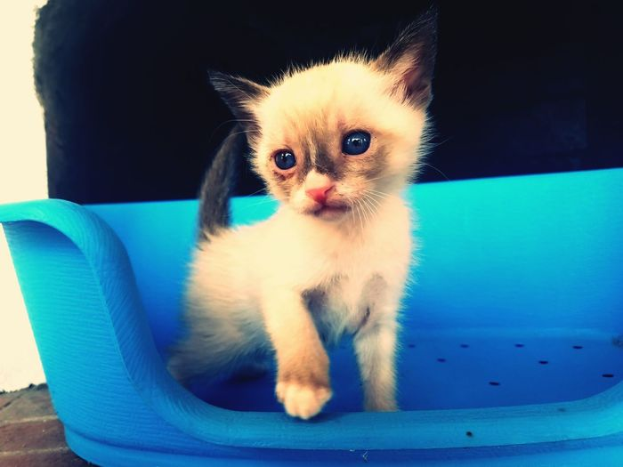 Cat Siamese Pets Domestic Cat Animal Domestic Animals Cute Blue Looking At Camera Kitten Feline Portrait Eye Mammal One Animal Young Animal Animal Themes Beauty No People Indoors  Day