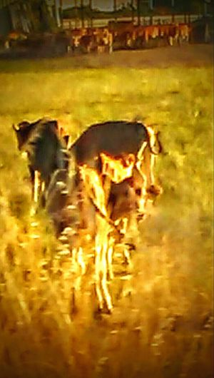 Go Home Cow...youre Drunk Cows Head Home When The Cows Come Home Taking Photos Cow Butts Beef..its Whats For Dinner The Girls Got Cows