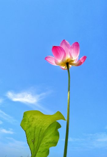 Close-up of pink flower blooming against sky
