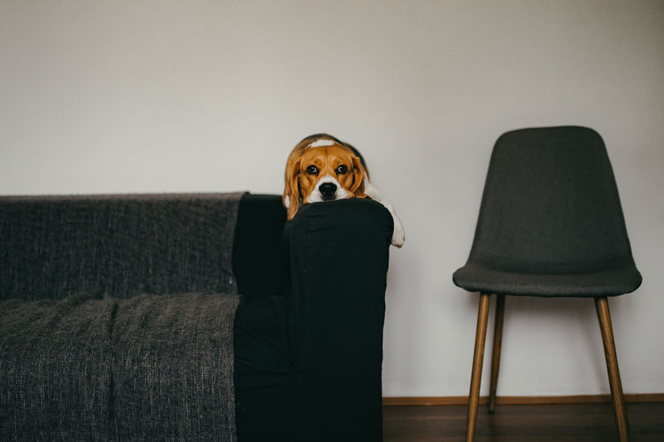 Nuca the beagle, contemplative dog on the sofa Indoors  Chair Seat Portrait Front View Standing Wall - Building Feature Lifestyles Holding Sitting Contemplation Beagle Dogs IKEA Ikea Design Cozy Cozy Place Cozy At Home Beaglelovers Beagle Channel Dogs Of EyeEm Beagleoftheday Dogslife Animal Love