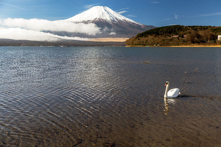 Mount Fuji Cloud Japan Japan Photography Japanese  Morning Mount FuJi  Reflection Relaxing Swimming Winter World Heritage Yamanashi Animal Bird Fuji Fuji Five Lakes Fujiyama Lake Lake Yamanaka Mountain Nature Sky Swan Water