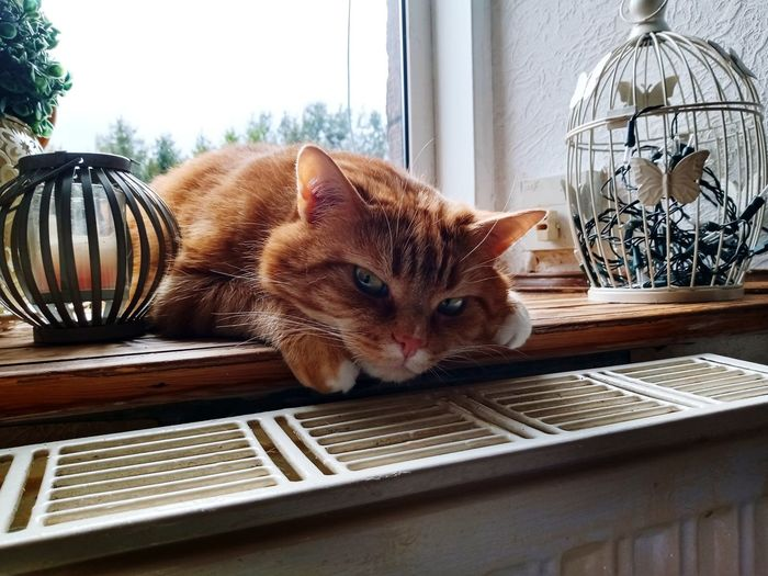 Portrait of a cat lying on table