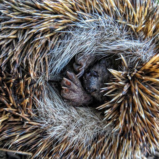 Hedgehogs Macro