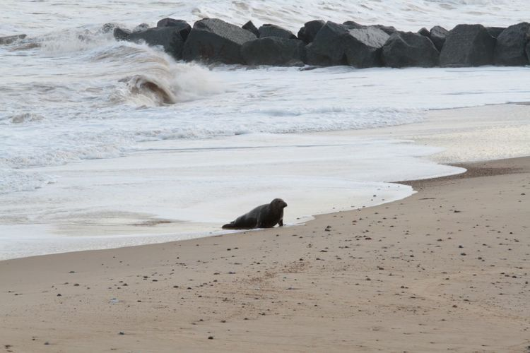 On The Beach Horsey Gap Horsey :) Beach Sea Seal
