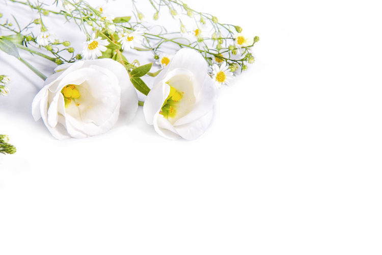 Beauty In Nature Close-up Copy Space Flower Flower Head Fragility Freshness No People Petal Studio Shot White Background White Color