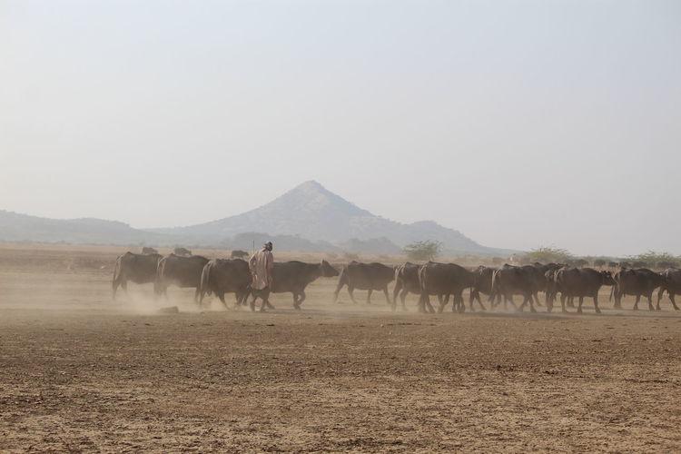 Full length of man with buffalo on land against sky