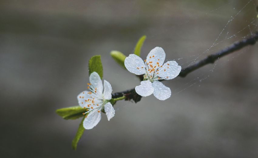 Plum Flowers Tree Branch  High Angle View Close-up Taking Photos Feeling Creative OpenEdit EyeEm Best Shots Freshness Morning Dew Dew EyeEm Nature Lover Nature Flower Collection Close-up In Bloom Blooming