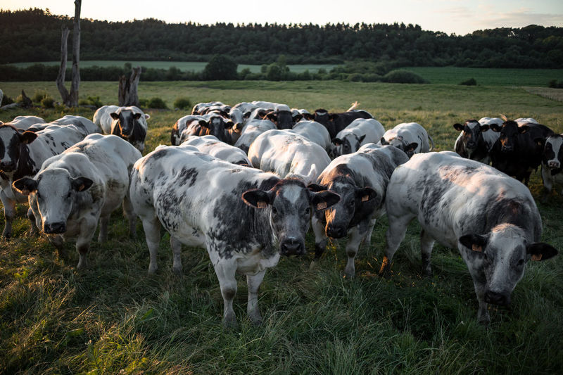 Sunset_collection Animal Animal Themes Cattle Cow Curiosity Day Domestic Domestic Animals Environment Field Grass Group Of Animals Herbivorous Herd Land Landscape Large Group Of Animals Livestock Mammal No People Outdoors Pets Plant Vertebrate