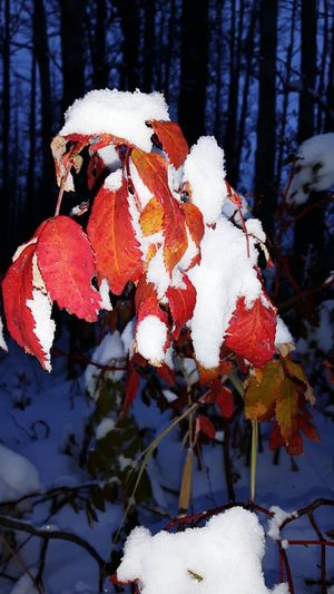 Red Leaves Snow