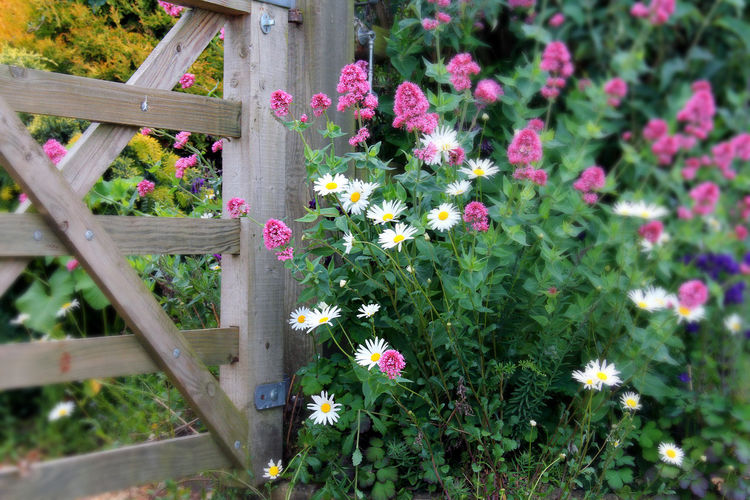 Cotswolds Country Life Countryside Flower Flowers,Plants & Garden Gate Greenery Pink Plants Plants And Flowers White Wooden